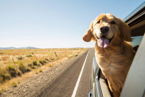 Есть ли штраф за неправильную перевозку животных в машине
