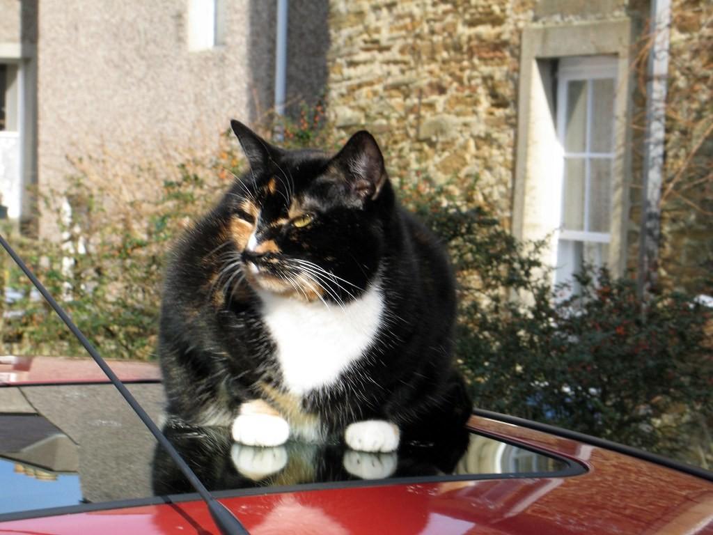 кот на крыше авто